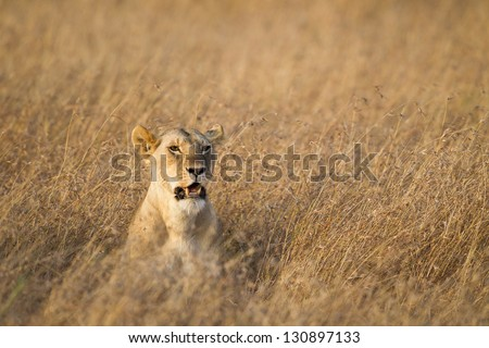 Lioness looking for prey, Masai Mara National Reserve, Kenya Eastern Africa - stock photo