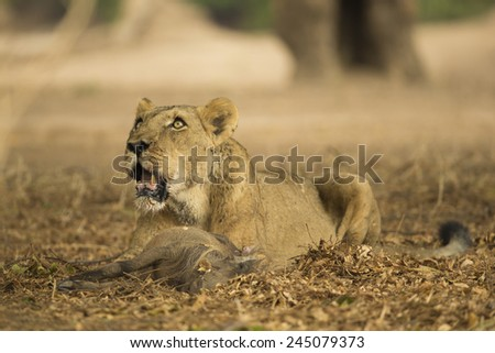 Lioness looking up from her Warthog kill - stock photo