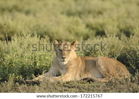 Lioness lying in grass. - stock photo