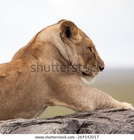 Lioness lying on the rock in Serengeti NP, Tanzania, Africa  - stock photo
