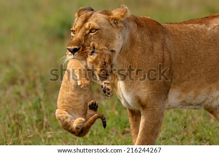 Lioness mother carries her baby to a new safe place in Masai Mara National Reserve, Kenya - stock photo