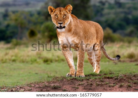 Lioness observed three Cheetahs and gets ready to chase them in Masai Mara, Kenya - stock photo