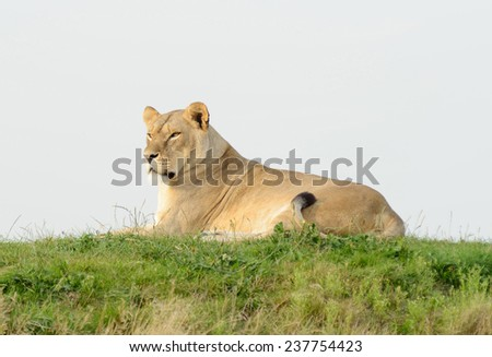 Lioness on a hill resting and watching alert - stock photo