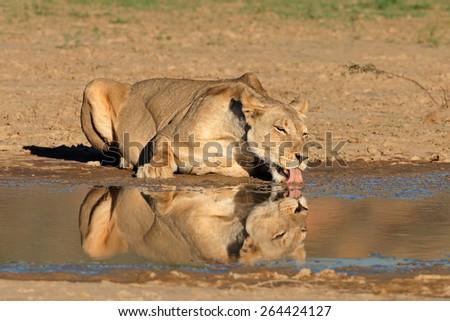 Lioness (Panthera leo) drinking at a waterhole, Kalahari desert, South Africa - stock photo