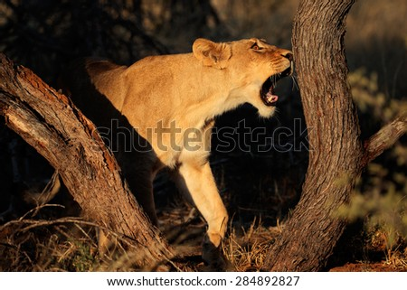 Lioness (Panthera leo) in natural habitat, South Africa - stock photo