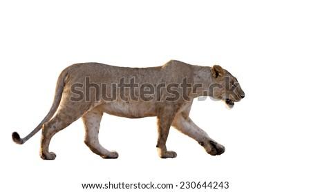 Lioness, Panthera leo, isolated on white - stock photo