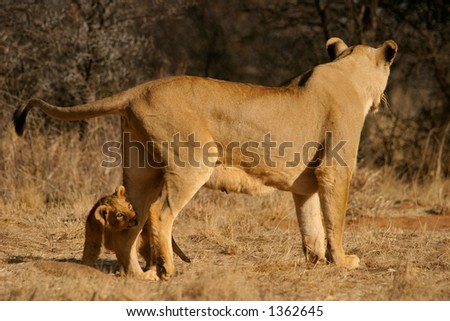 Lioness (Panthera leo) with her a young lion cub, South Africa - stock photo