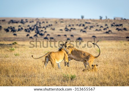 Lioness playing with cubs in the Serengeti National Park, Tanzania, Africa - stock photo