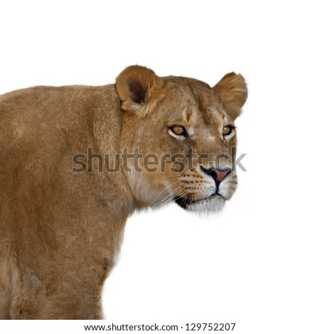Lioness portrait on white background - stock photo
