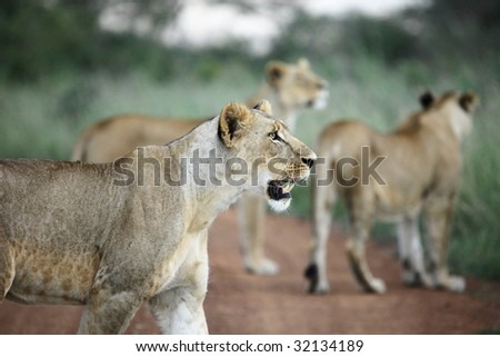 lioness preparing to hunt - stock photo