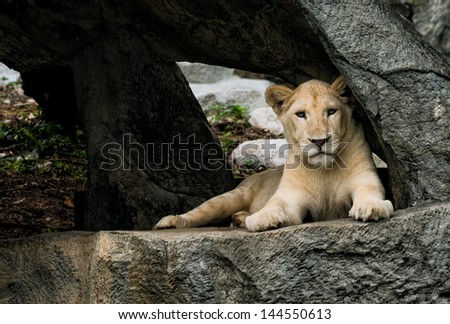 Lioness resting in the cave - stock photo