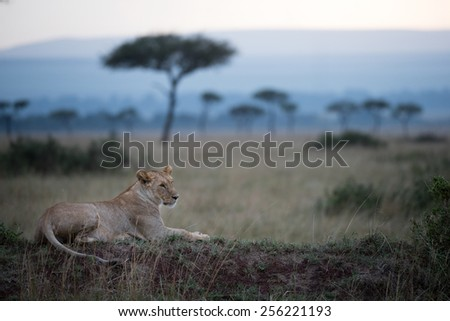 Lioness resting on a termite mount.  - stock photo