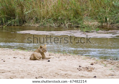 Lioness resting on the river banks - stock photo