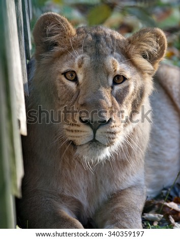 lioness snout portrait closeup view on outdoor background - stock photo