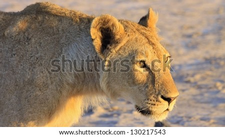 Lioness stalking her prey as the sun starts to set. Image was taken in Amboseli National Park, Kenya - stock photo