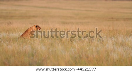 Lioness stalking prey - stock photo