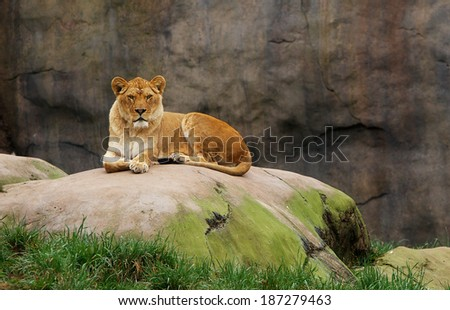 Lioness watching from a large boulder with stone background and leading edge grass - stock photo