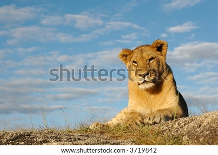 Lioness with blue sky - stock photo