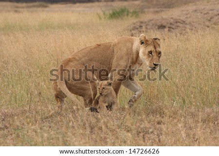 Lioness with Cub - stock photo