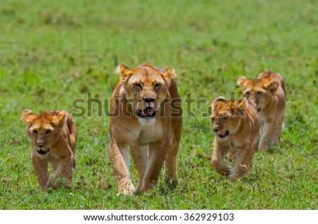 Lioness with cubs in the savannah. National Park. Kenya. Tanzania. Masai Mara. Serengeti. An excellent illustration. - stock photo