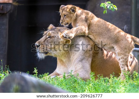 Lioness with one cub playing on her back - stock photo