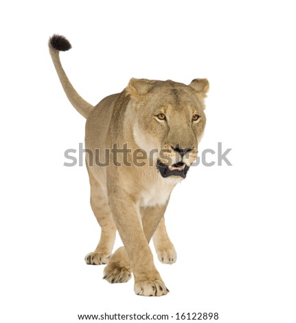 Lioness (8 years) - Panthera leo in front of a white background - stock photo