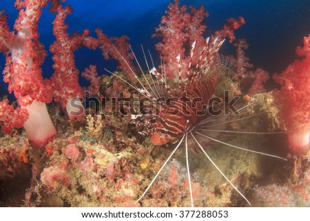 Lionfish amongst red soft corals - stock photo