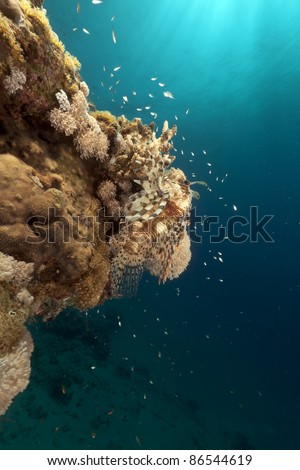 Lionfish and coral in the Red Sea. - stock photo