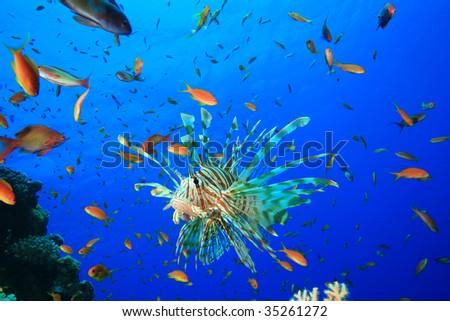 Lionfish and Lyretail Anthias - stock photo