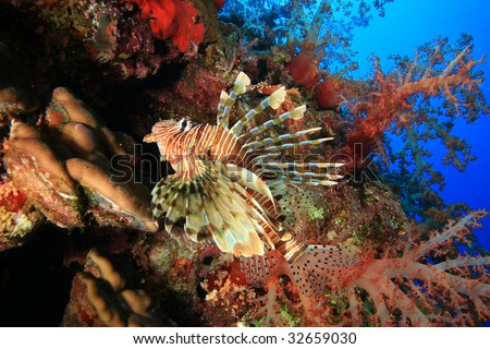Lionfish and Red Soft Corals - stock photo