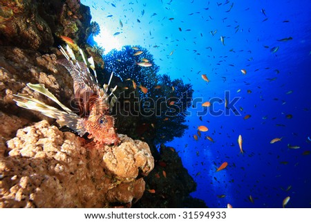 Lionfish and Table Coral - stock photo
