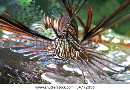 Lionfish close-up. - stock photo