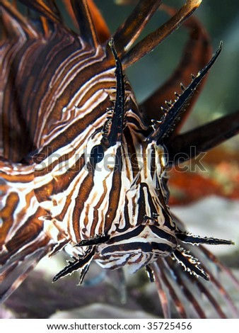 Lionfish face - stock photo
