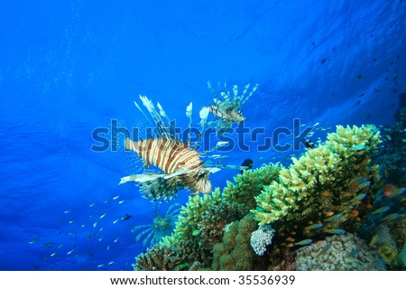 Lionfish hover over a coral reef - stock photo