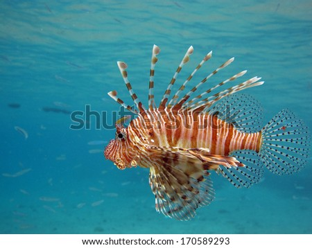 Lionfish hunting just below the surface - stock photo