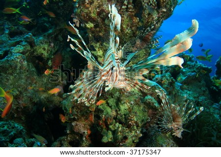 Lionfish in coral reef - stock photo