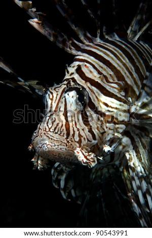 Lionfish, lion fish Pterois volitans Taken in Wakatobi, Indonesia - stock photo