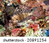 Lionfish  on the coral reef - stock photo