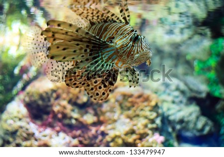 Lionfish (Pterois mombasae) on a coral reef - stock photo