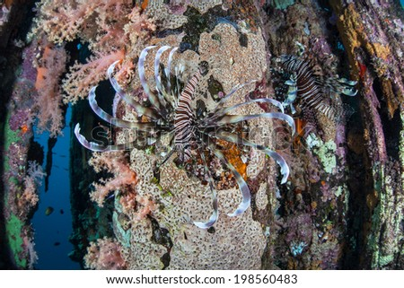 Lionfish swim along an encrusted pier piling near a remote island in the Solomon Islands. This region is within the Coral Triangle and is known for its high marine biological diversity. - stock photo