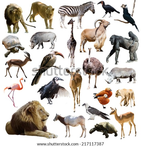 lions and other African animals. Isolated over white background  - stock photo