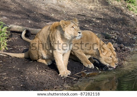 Lions drinking - stock photo
