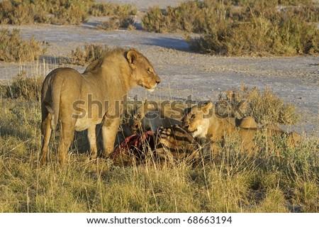 Lion Zebra Friends Lions Eating on a Zebra