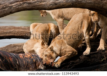 Lions fighting over scraps. Ruaha National Park, Tanzania. - stock photo