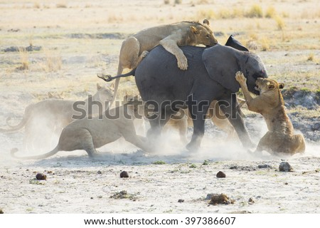 Lions kill and eat a baby elephant in Africa - stock photo