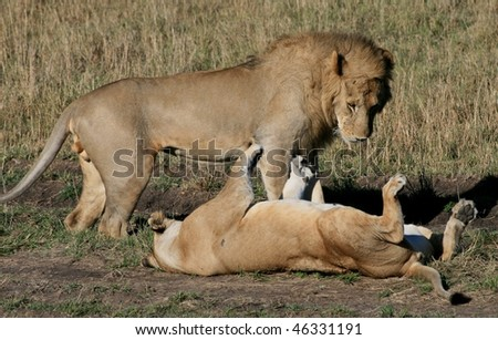 Lions mating in the wild - stock photo