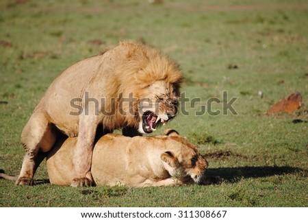 Lions mating, Masai Mara, Kenya - stock photo
