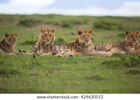 Lions of Maji Ya Fisi Pride, father: one of Notches, Masai Mara, Kenya - stock photo