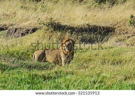 Lions resting on the grass in the Masai Mara park - stock photo