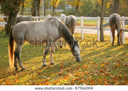Lipizzan horses grazing in early autumn evening - stock photo